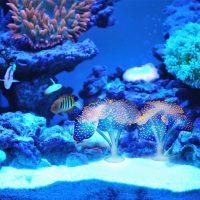 San hô phát sáng trang trí bể cá