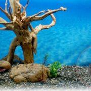 Sọ Cừu Aquarium Trang Trí Bể Cá