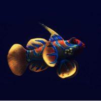 Cá mao ếch phát sáng trang trí bể cá frog fish glowing