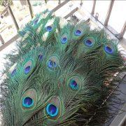 Lông chim công khổng tước màu sắc tự nhiên