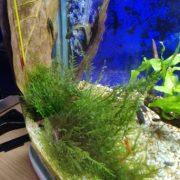10 Lá bàng khô tự nhiên làm giảm hấp thụ các hóa chất độc hại cho hồ cá